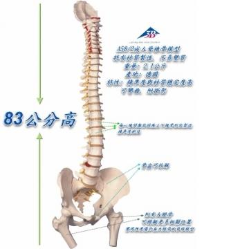 A58/2 西德脊椎骨模型