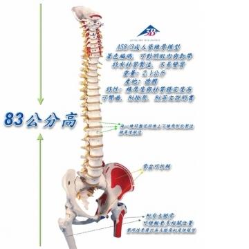 A58/3 西德脊椎