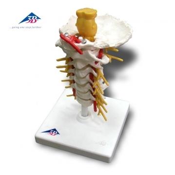 A72 西德頸椎模型