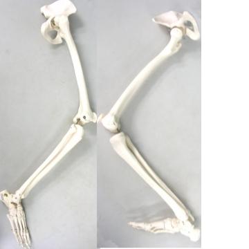 A36 成人比例腿骨模型