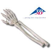 A41 德國手掌骨模型
