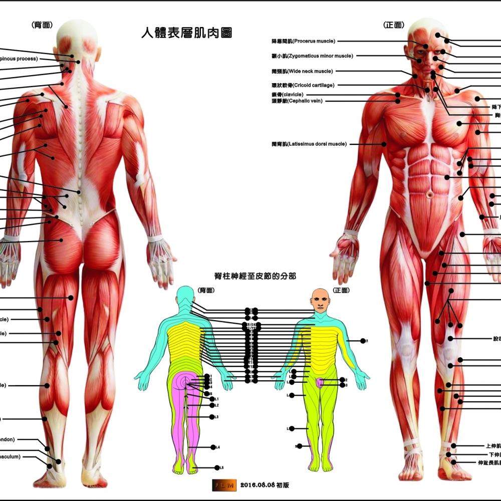 肌肉解剖圖