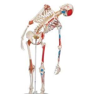 A13 德國頂級成人骨骼模型